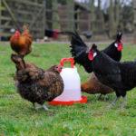 Chicken water drinker